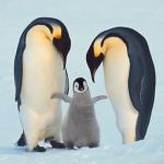 Пингвины известное фото